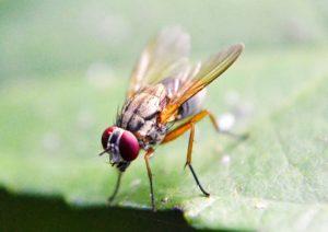 Fruchtfliegen können eine Plage sein.