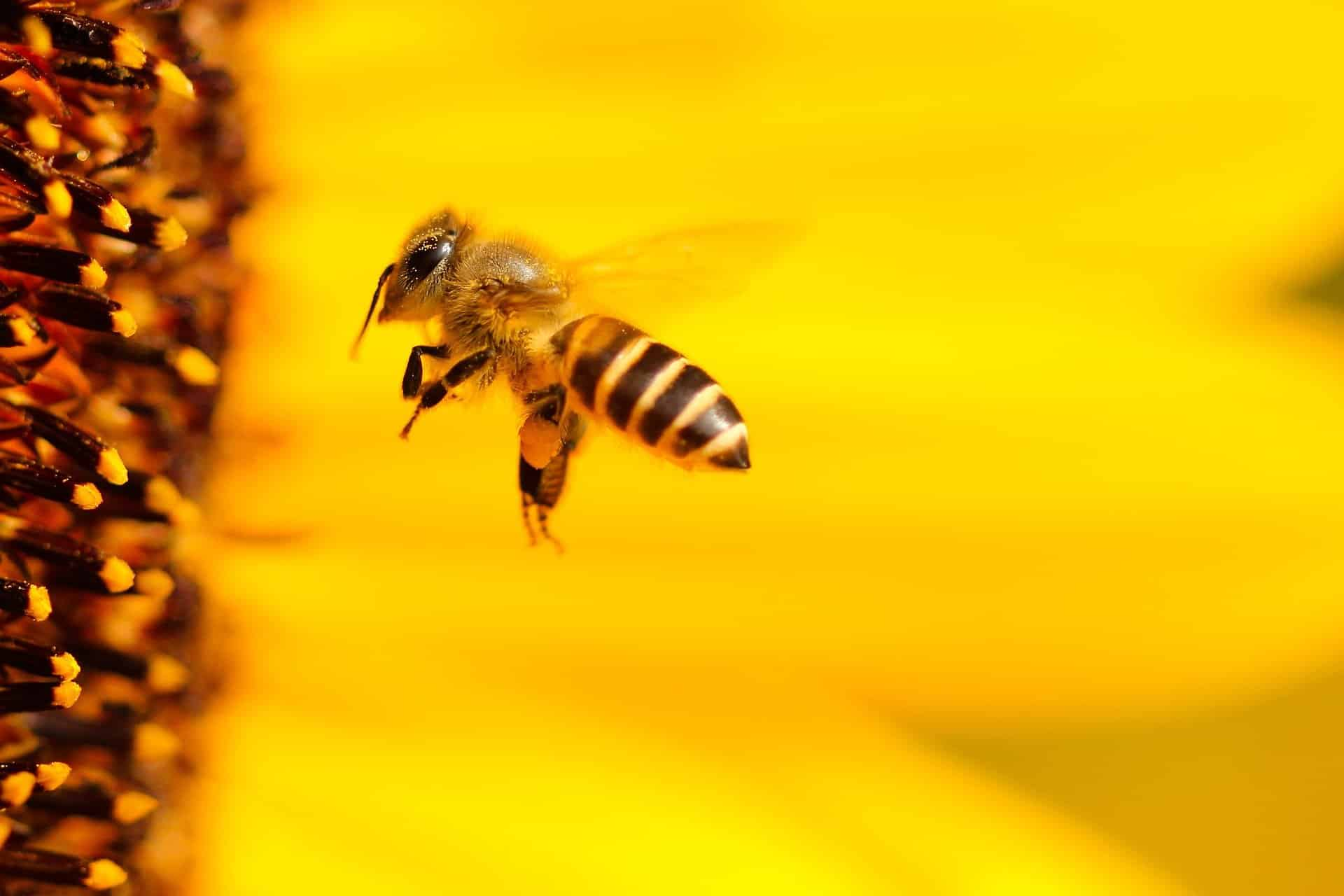 Gegen Bienenstiche helfen auch bewährte Hausmittel.